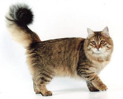 Сибирские кошки (взяли отписались)