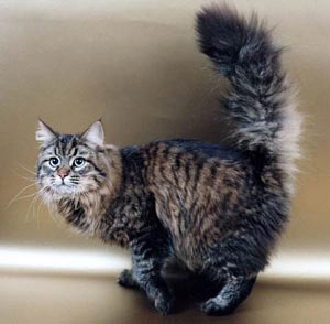 Siberian cats are well-known